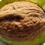 گردو موجب افزایش کیفیت اسپرم در مردان نابارور