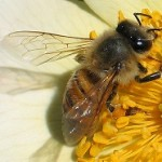 محصولات دارویی زنبور عسل