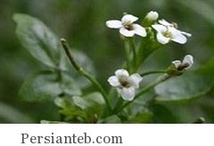 از خواص گیاه بولاغ اوتی چه می دانید؟!