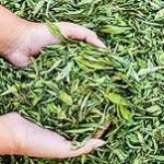 دانستنی های جالب درباره گیاه استویا