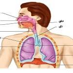 مقاله ای جامع درباره دستگاه تنفسی انسان
