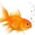 اگر قصد خرید ماهی قرمز عید نوروز دارید، بخوانید!