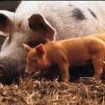 بیماری آنفولانزای خوکی: علائم، درمان و پیشگیری