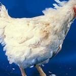 بیماری آنفولانزای پرندگان: علائم، درمان و پیشگیری