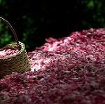 دانستنی های جالب در مورد گلاب
