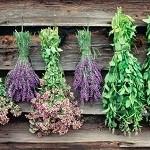 آیا گیاهان دارویی همیشه مفید هستند؟ گیاه گلپر سقط آور است!