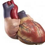 حقایق جالب در مورد قلب انسان