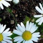 درمان ورم معده با گیاهان دارویی