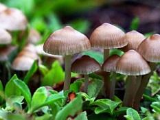 قارچ های سمی