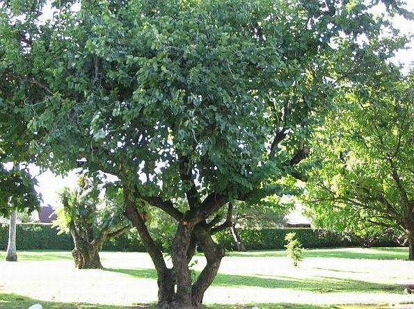 ـعبیر خواب دیدن درخت آبنوس
