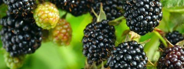 میوه تمشک+خواص درمانی تمشک