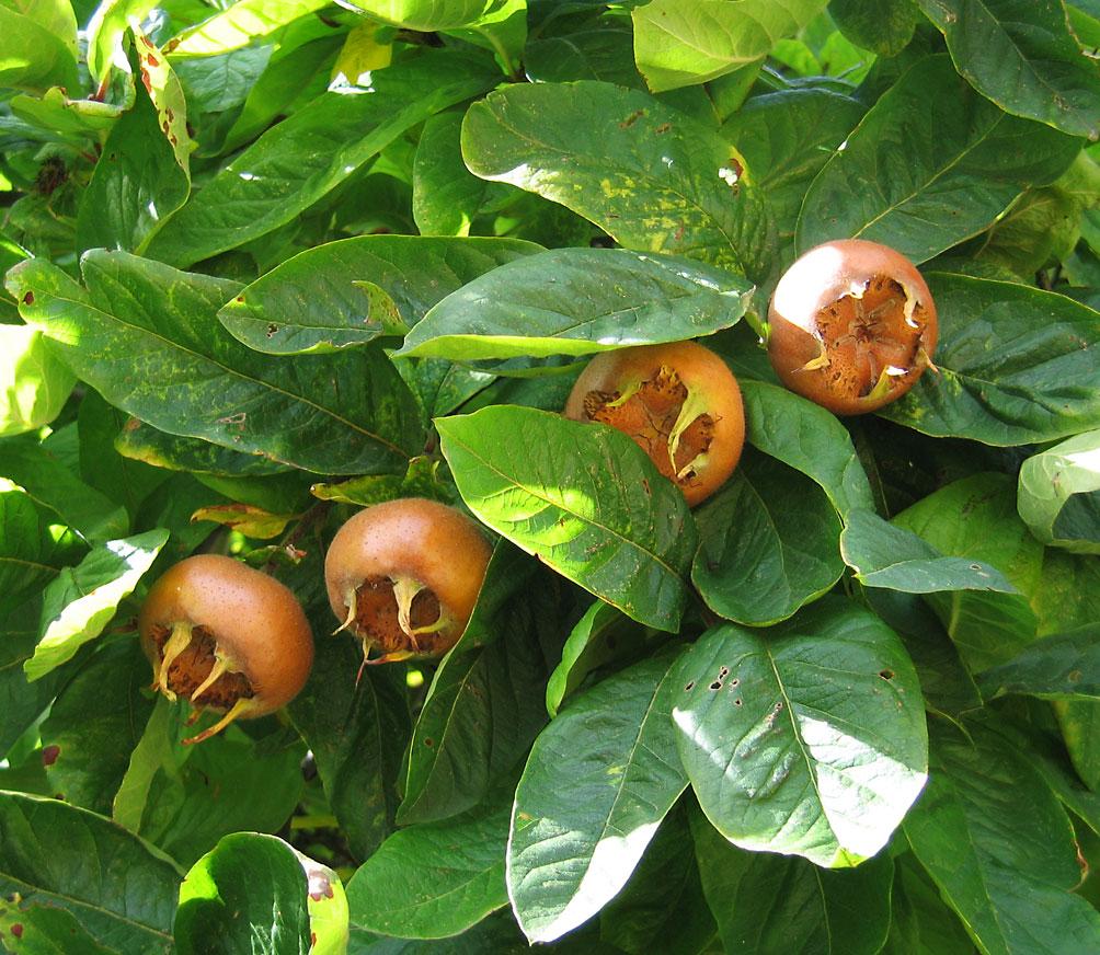 فواید میوه ازگیل